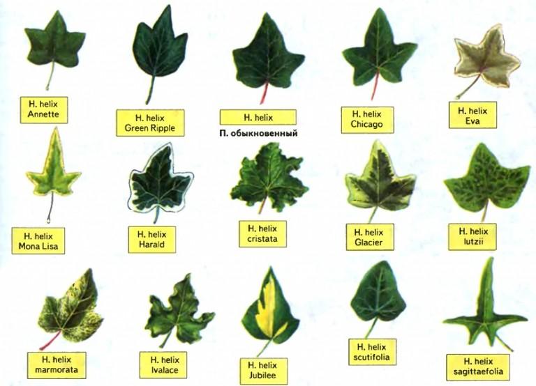 У плюща могут быть листики различной формы и окраски
