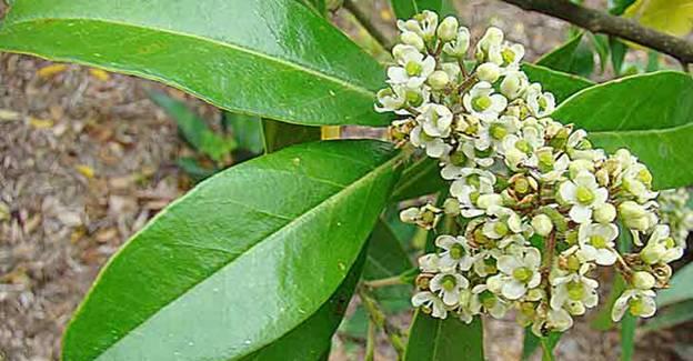Цветение Падуба Парагвайского