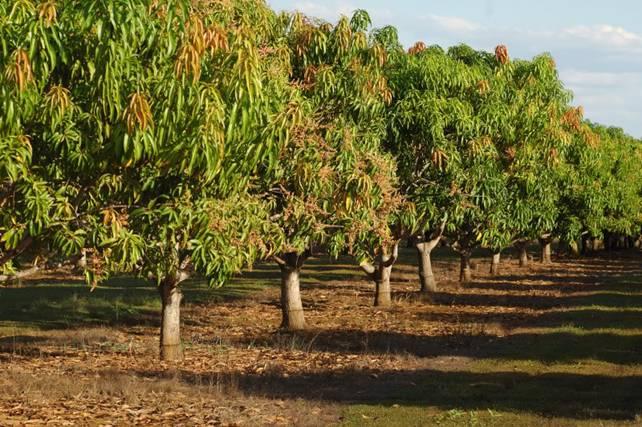 Индия считается главным экспортером манго, а сами плоды — ее национальным символом
