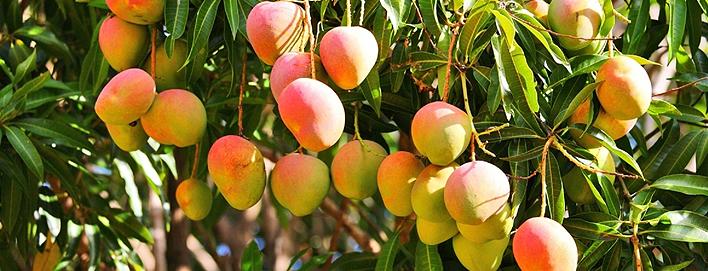 Народы юго-восточной части Азии называют манго Азиатским яблоком
