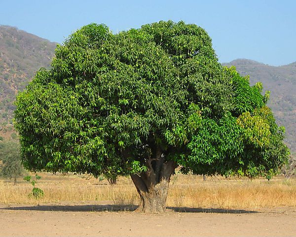 Высота мангового дерева может достигать 30 м, ширина кроны — 20 м.