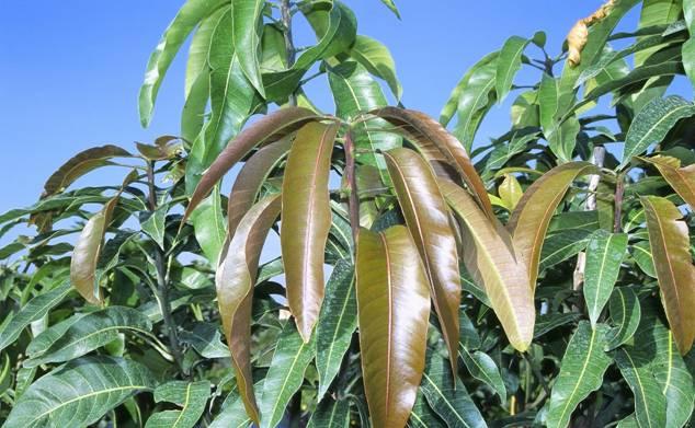 Молодые листья окрашены в красно-коричневатые оттенки