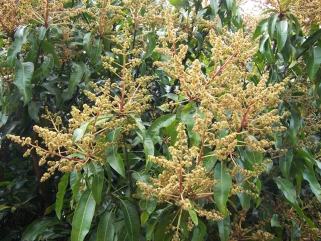 Метелки соцветий окрашены в желтоватые оттенки и достигают в длину 40 см