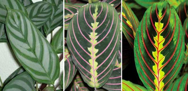 Листья имеют различную окраску