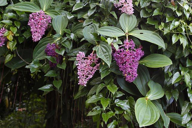 В естественной среде Мединиллу можно увидеть на Мадагаскаре, Малайских островах и в тропиках Африки