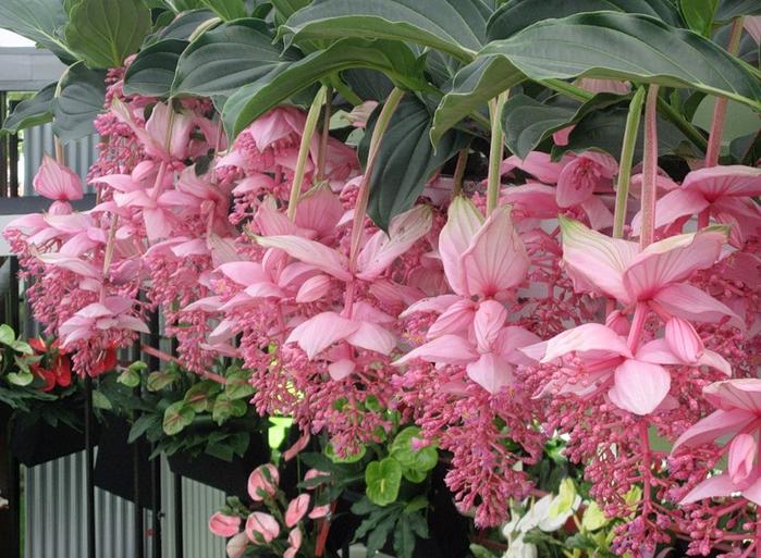 Длина соцветий достигает 50 см
