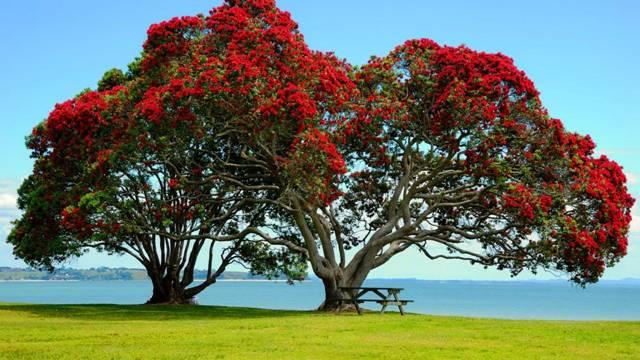 Это цветет Метросидерос – одно из самых красивых деревьев