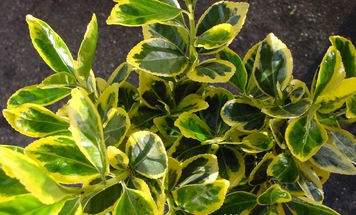 С зеленой листвой, украшенной желтой каймой