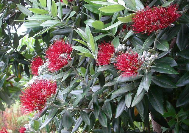 В ноябре на его побегах появляются крупные красные соцветия