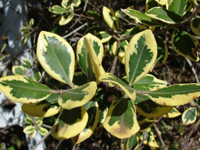 У некоторых видов листья пестрые