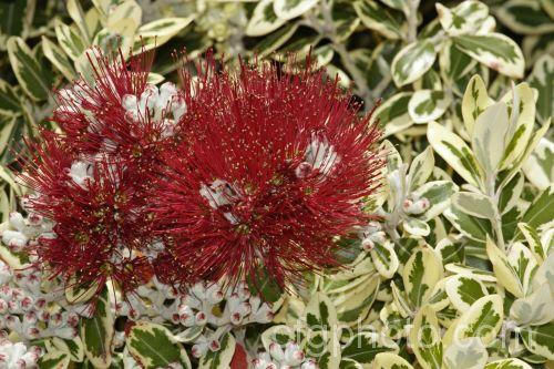 Листья Метросидероса Variegata имеют светлую кайму