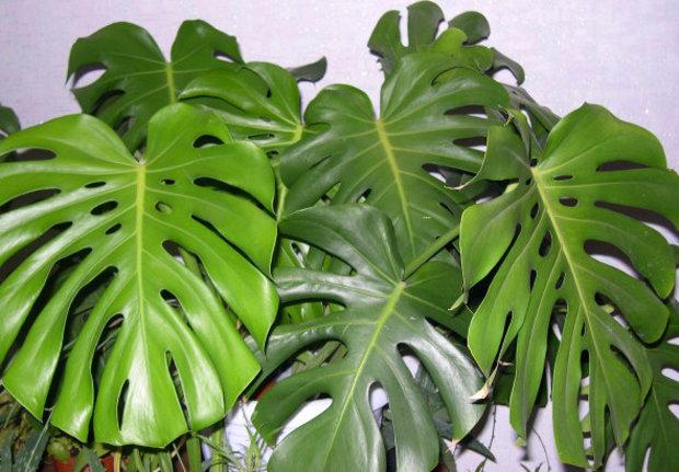 Mонстера Дырявая или Пробитая имеет самые крупные листья