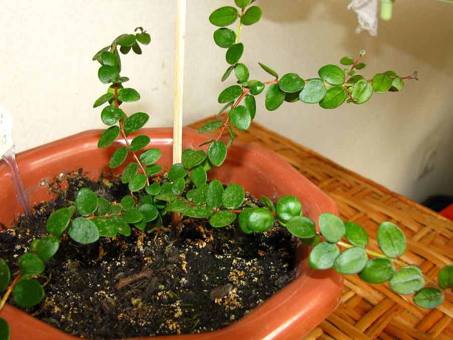 Мюленбекия быстро растет и легко размножается черенками