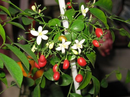 Иногда на муррайе одновременно находятся бутоны, цветки и плоды