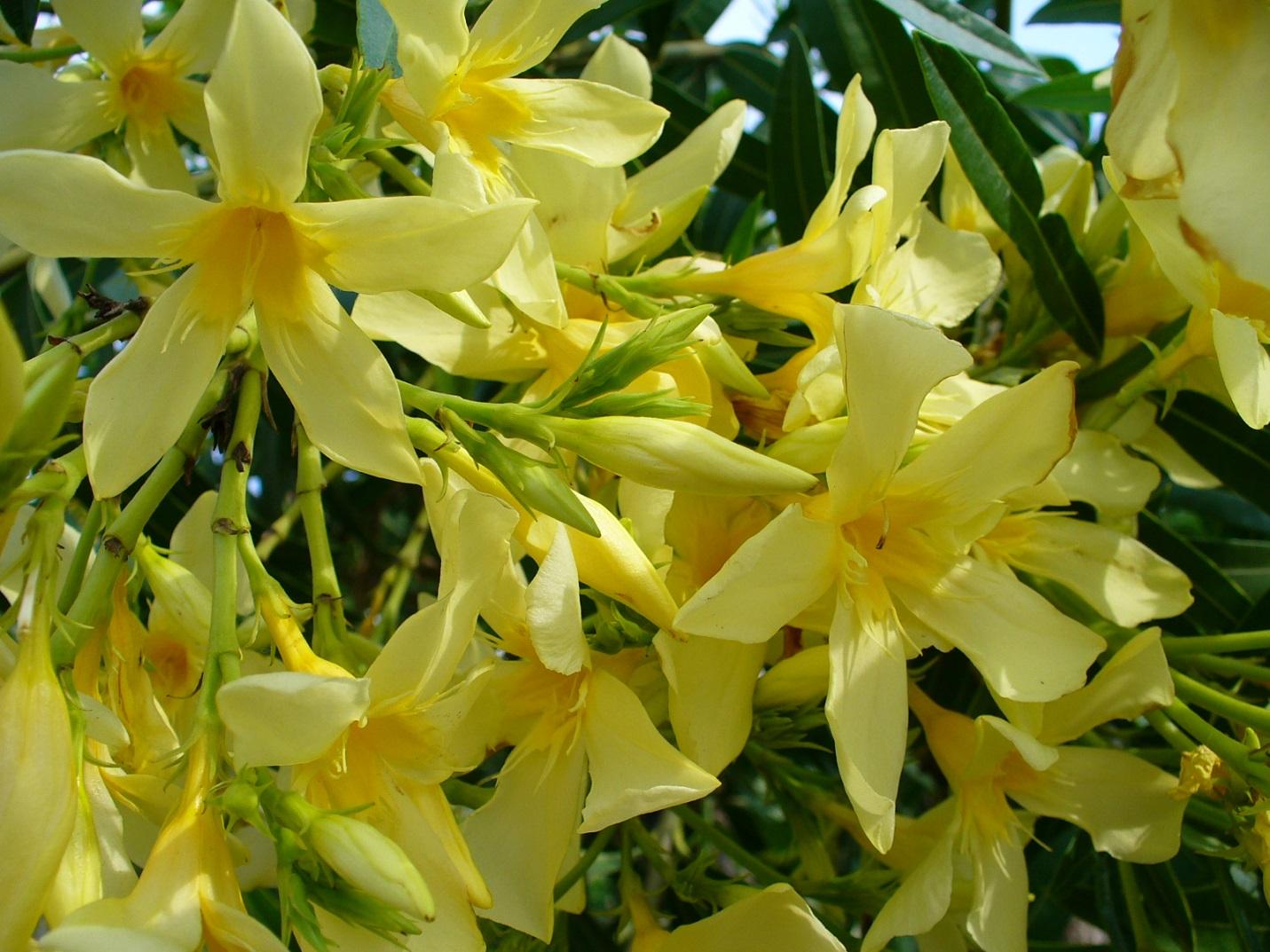 Желтые цветки олеандра