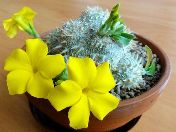 Цветущий Пахиподиум Короткостебельный