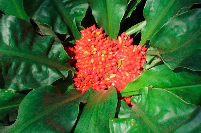 Палистота – красивое растение с красными плодами