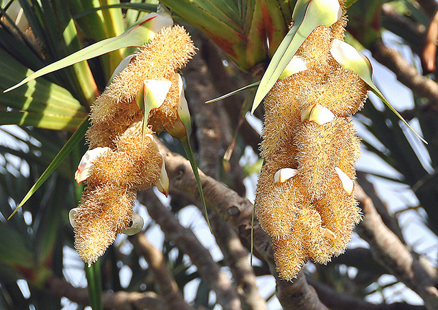 Цветы Пандануса Полезного
