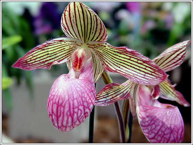 Пафиопедилум Крупноцветковый