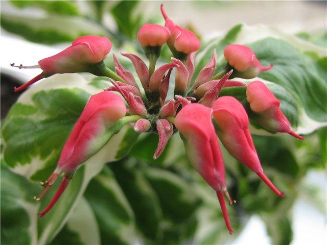 Цветок педилантуса