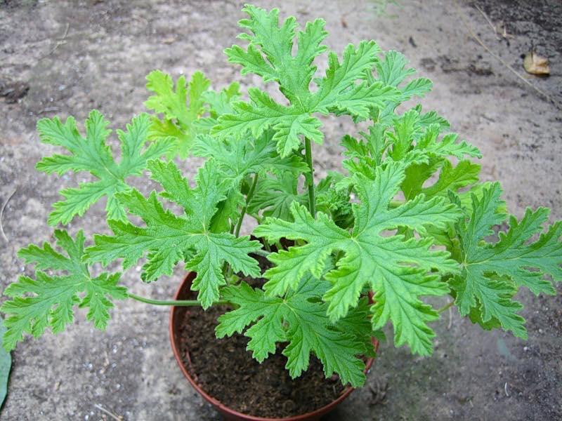 Пеларгония Душистая ценится не за цветки, а за разнообразный аромат листьев