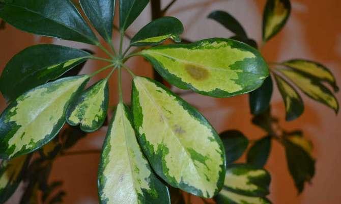 Сопровождается образованием на листьях пятен