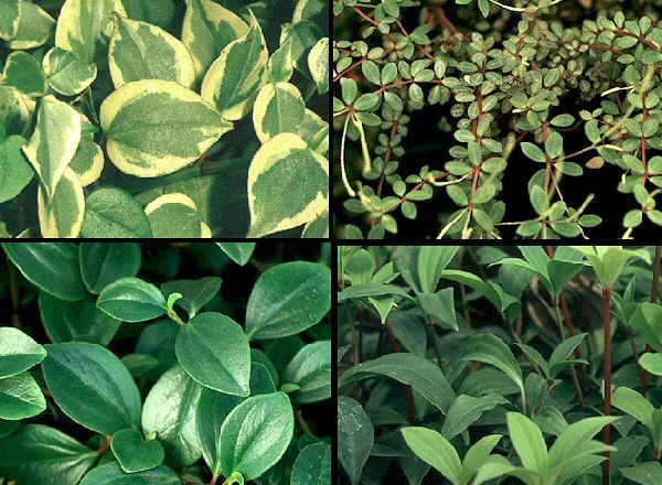 Форма и цвет листьев разнообразны