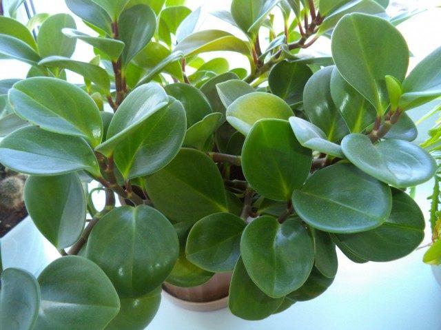 Имеет черешковые, поочередно расположенные темно-зеленые кожистые мясистые листья яйцевидной формы