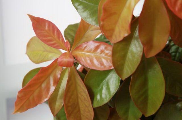Молодые листья ярко окрашены в насыщенно-зеленый или пурпурный цвет