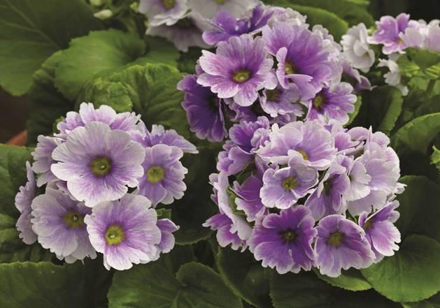 Многолетнее растение полуметровой высоты, имеющее скругленные опушенные листья и цветки красных, сиреневых и голубых оттенков