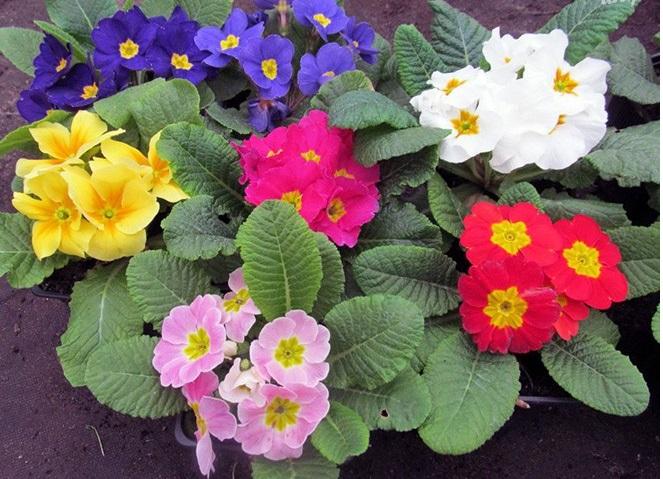 Невысокое (до 30 см) растение с маленькими зубчатыми листьями и волнистыми цветками