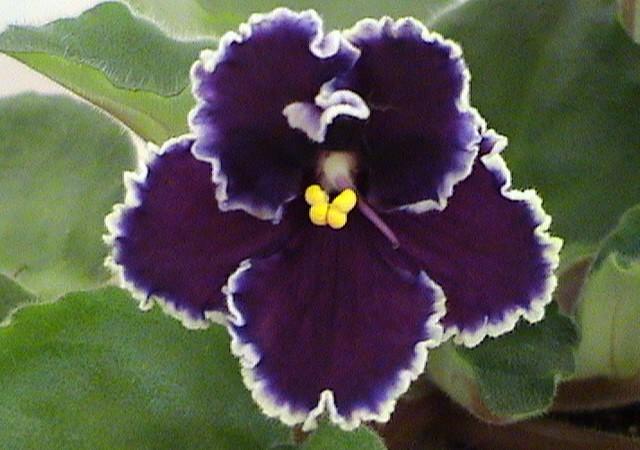 Цветок классической формы. Сорт «Родео Роперт»