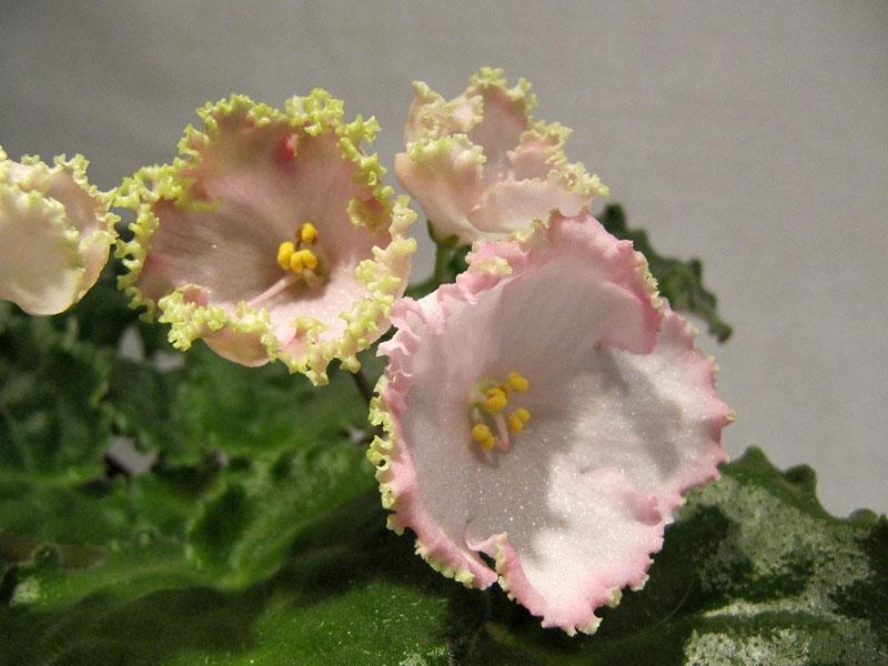 Колокольчатый цветок. Сорт «Чудо-ландыш»
