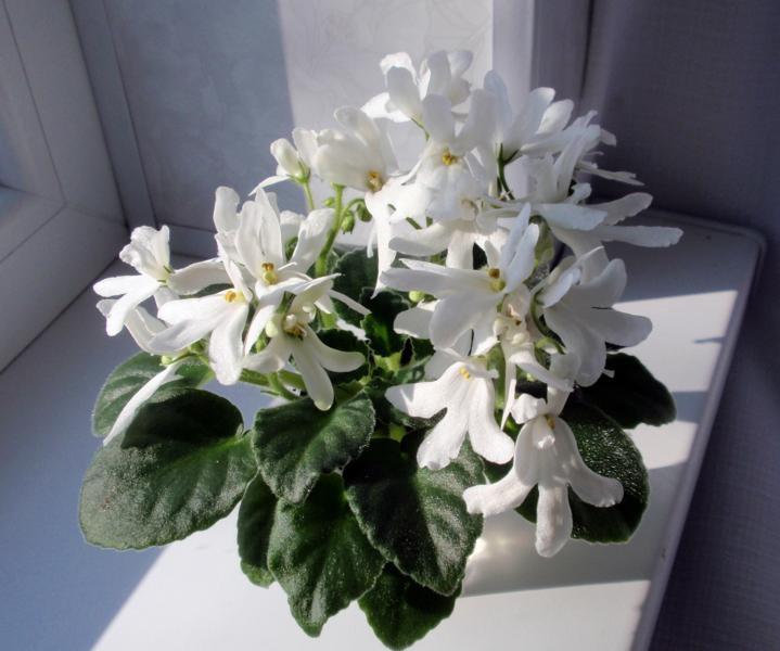 Цветок-оса. Сорт «Лунар Лили Вайт»