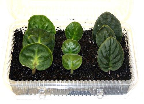 Сенполия – размножение листовыми черенками