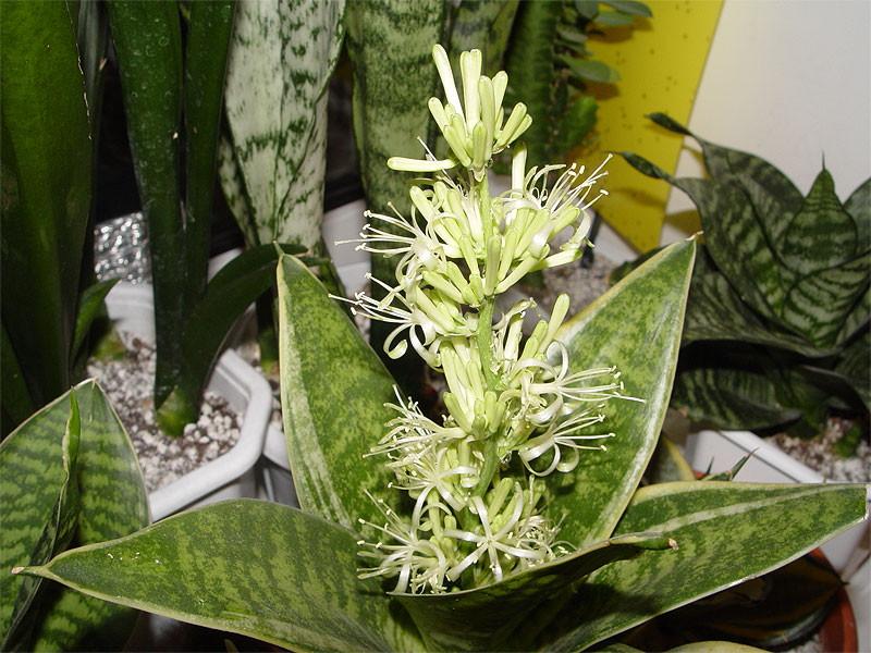 Сансевиерия уход в домашних условиях цветение