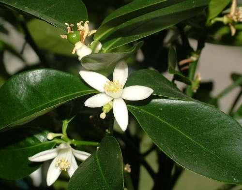 Цветки пазушные, одиночные или собраны в небольшие группы