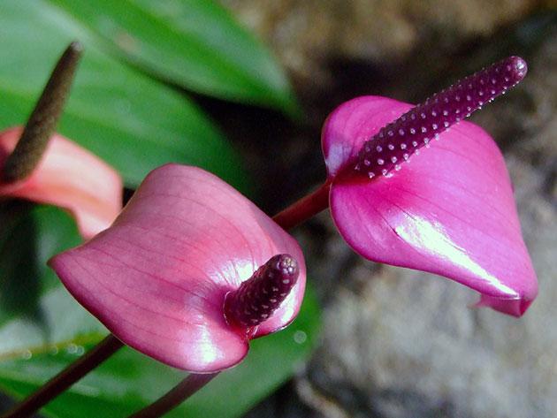 После опыления цветка покрывало разворачивается