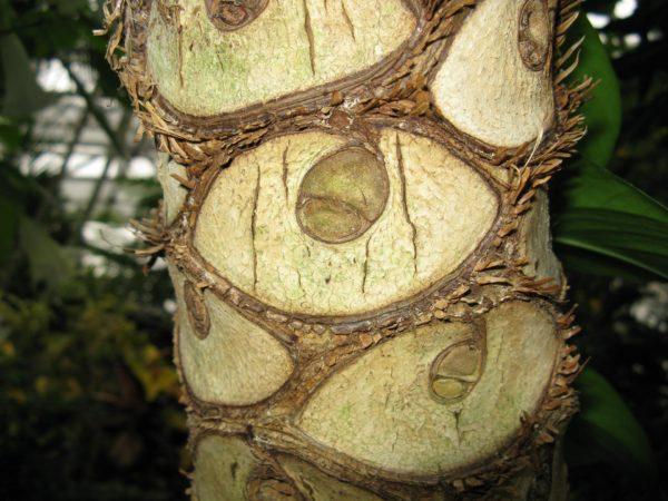 У вьющихся форм катафилл коричневеет, а затем опадает, оставляя на стволе рубец