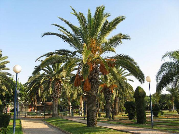 Финиковая пальма — символ плодородия и процветания