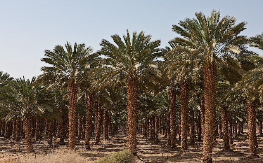 Финиковые плантации и сегодня занимают около 500 тысяч гектаров земель серной части Африки