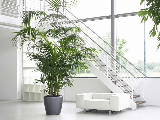 Финиковая пальма в помещении считается символом достатка и хорошего вкуса