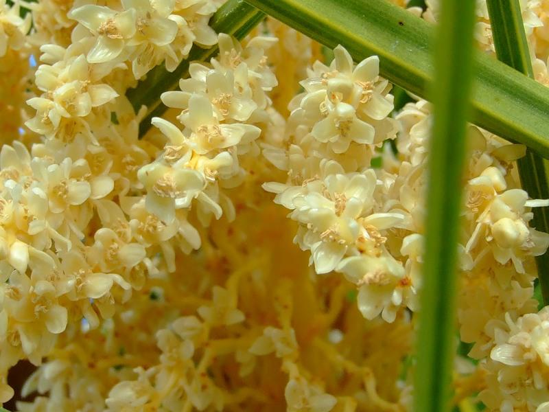 Соцветия образованы большим количеством мелких мясистых цветков, источающих сильный аромат