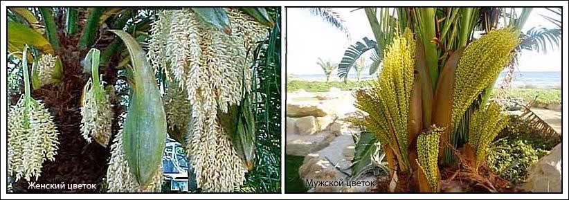 Женские цветки белые, мужские — желтые