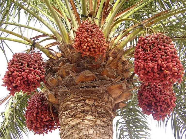 Ветки с трудом выдерживают тяжесть плодов