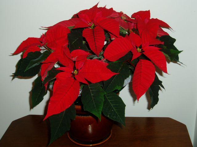 Комнатный цветок с красным листом название
