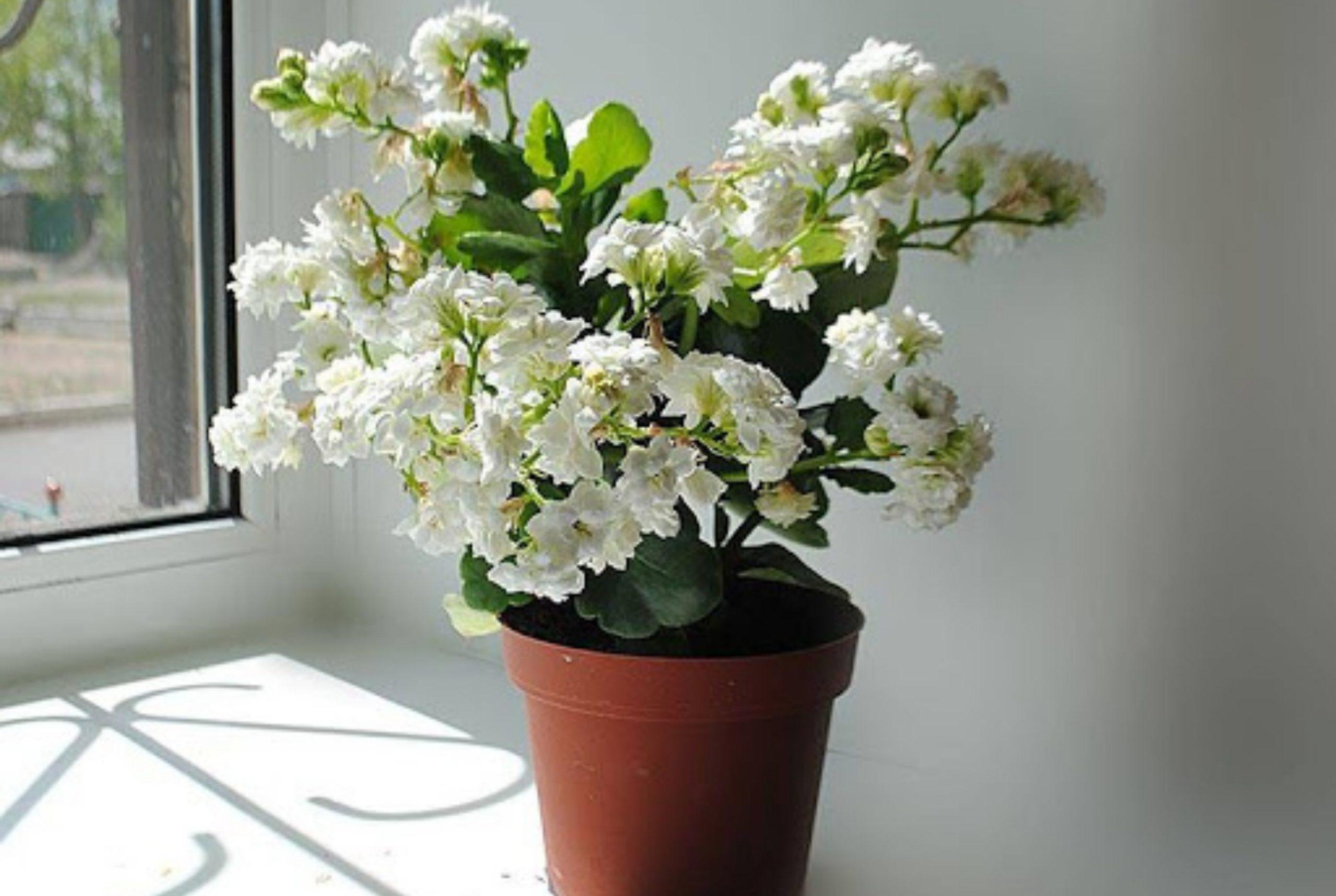 Как выглядит цветок каланхоэ фото, что приносит в дом