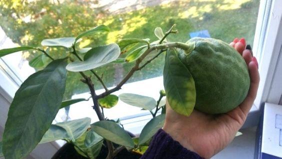 Авокадо - как растет в домашних условиях