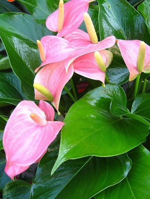 цветок антуриум Зизу