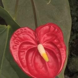 Красный цветок антуриум уход в домашних условиях, цветение и описание мужского счастья, особенности выращивания и размножения, как заставить цвести фламинго, фото
